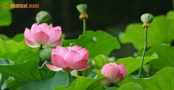 Hoa sen phong thủy mang lại may mắn, đủ đầy