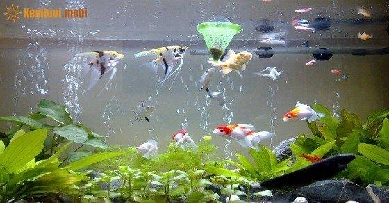 Mệnh Hỏa có nên nuôi cá cảnh và đặt bể cá trong nhà không