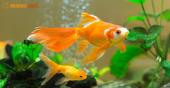 Mệnh Kim có nên nuôi cá cảnh không?