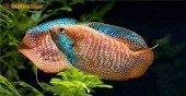 Mệnh Thổ có nên nuôi cá cảnh và đặt bể cá trong nhà không?