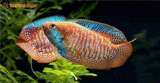 Mệnh Thổ có nên nuôi cá cảnh và đặt bể cá trong nhà không