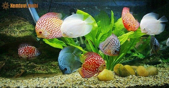 Người mệnh Thủy có nên nuôi cá không, nuôi cá gì sẽ có thêm lộc