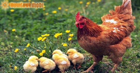 Nằm mơ thấy gà đánh con gì may mắn?