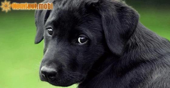Ngủ mơ thấy chó đen vào nhà là điềm lành hay dữ?