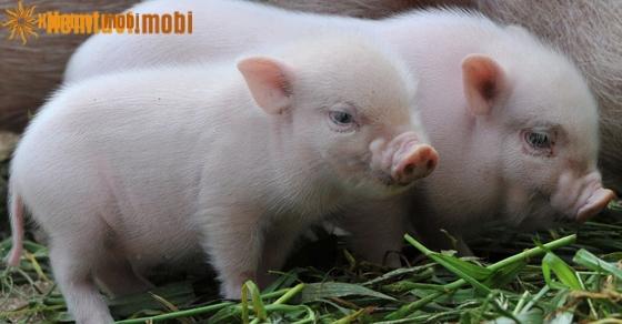Giải mã giấc mơ thấy lợn và điềm báo giấc mơ