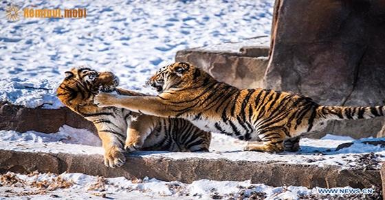 Chiêm bao thấy con hổ là điềm lành hay dữ?