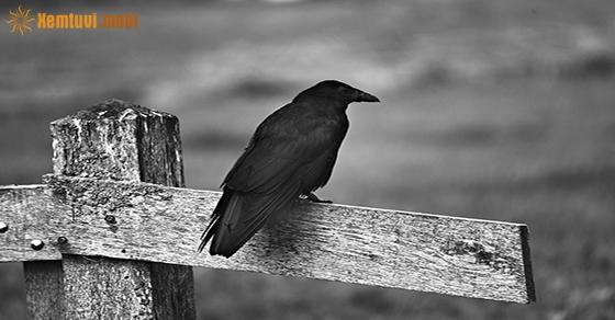 Giải mộng chiêm bao thấy quạ đen là có điềm báo gì?